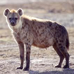 Hyena, an endangered species
