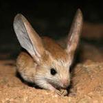 Jerboa, a desert mouse